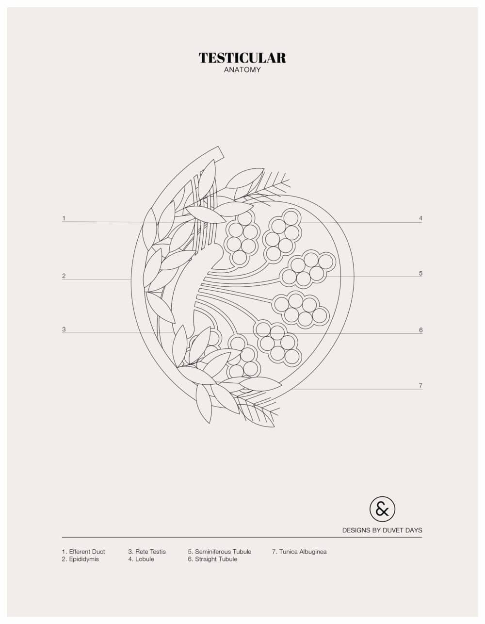Designs By Duvet Days_8.5x11_Testicular_Colouring Sheet_Preview
